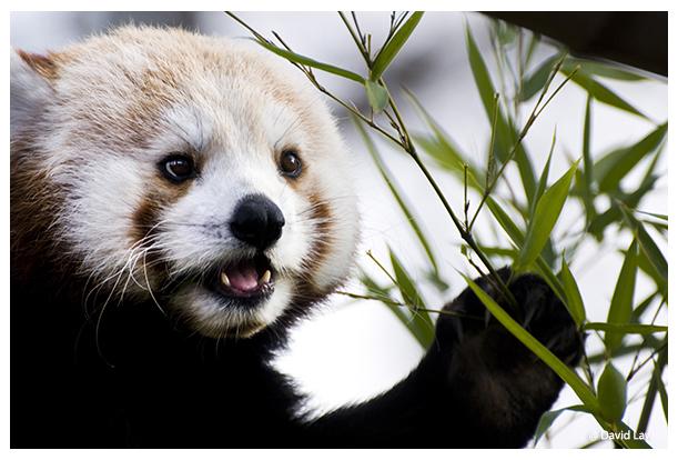 Red Panda copie