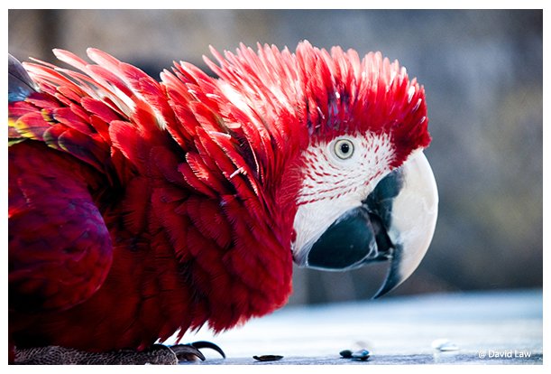Red Parrot copie