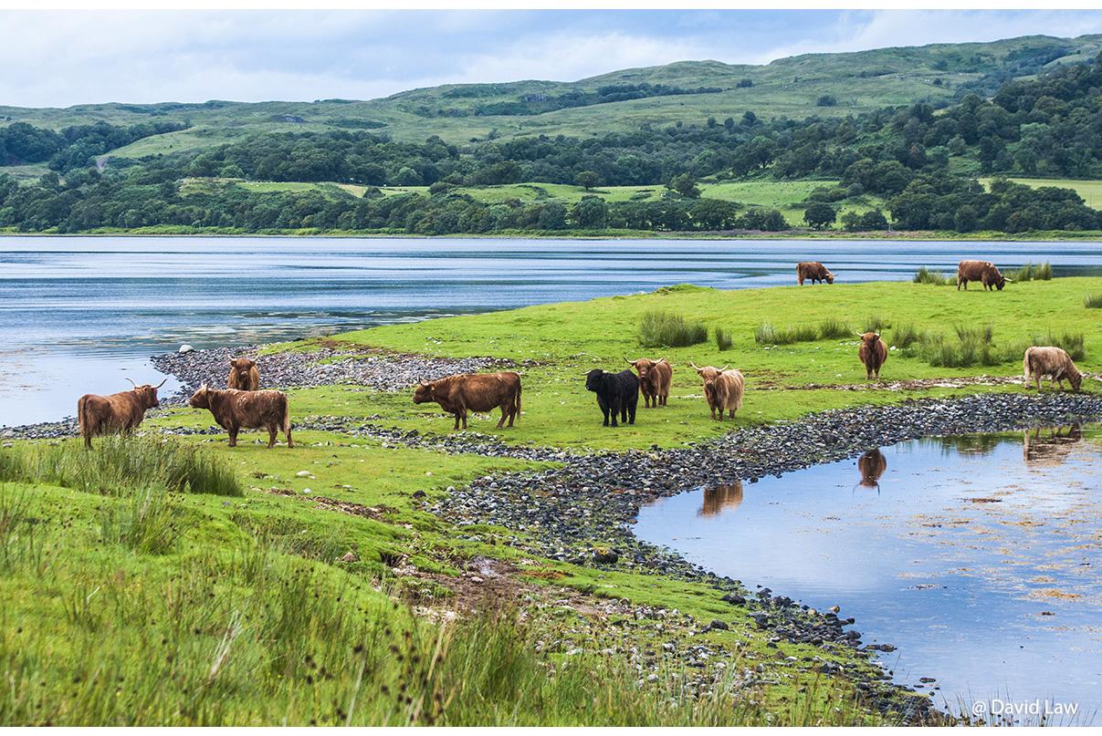 Scottish cows copie