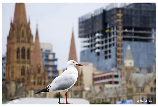 Seagul in Sydney copie