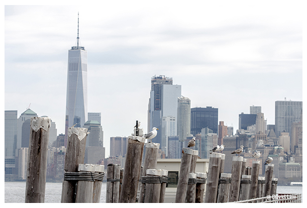 Seagulls in NY copie