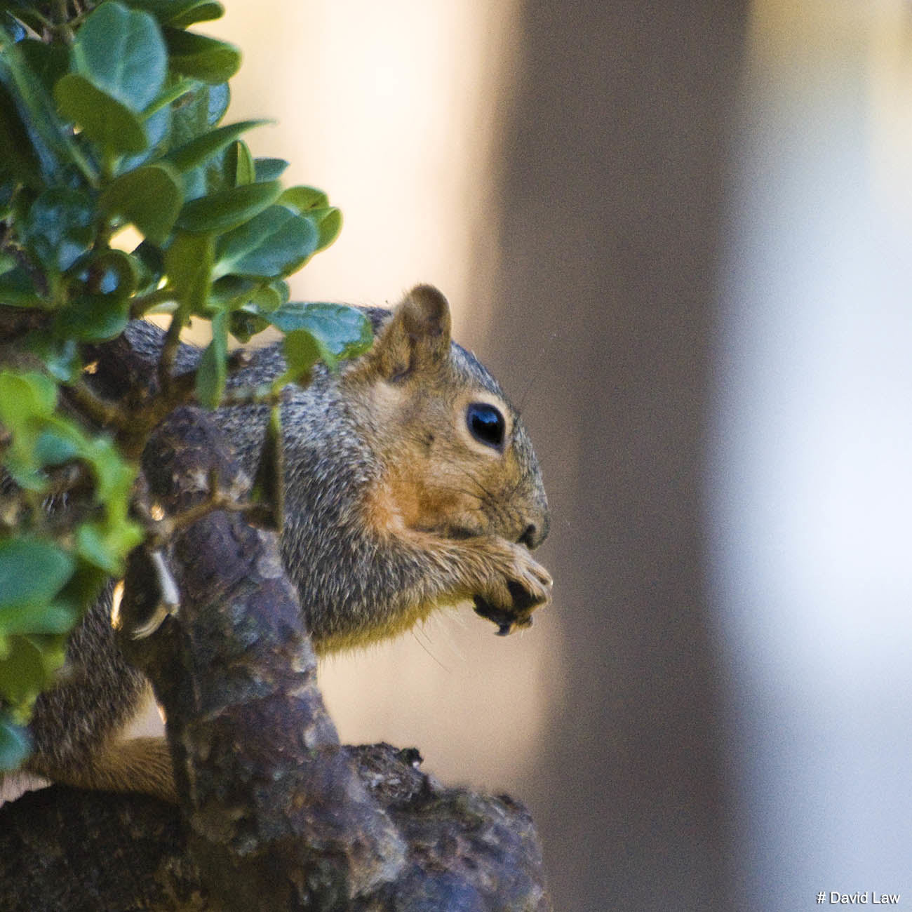 Squirrel II Square wns s0220