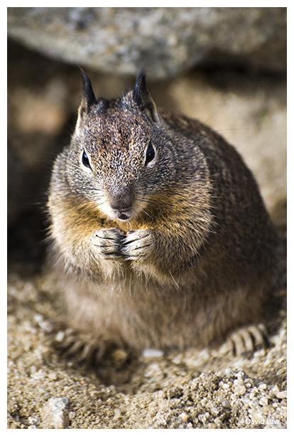Squirrel V copie