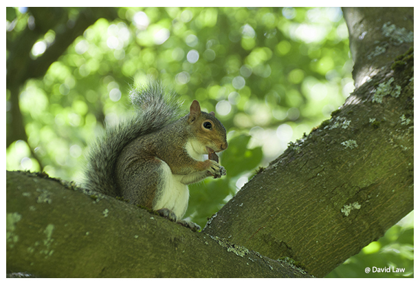 Squirrel VIII copie