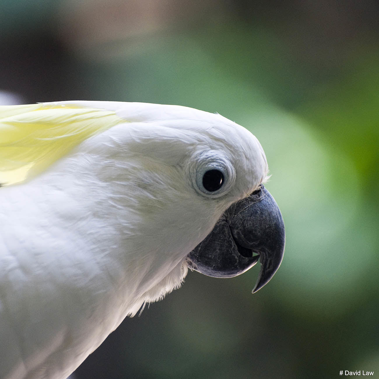 White Parrot Square wns s0220