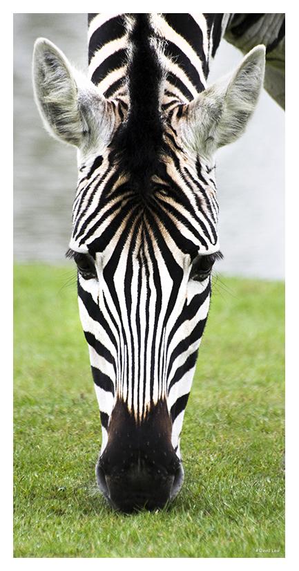 Zebra 40X80 copie 1
