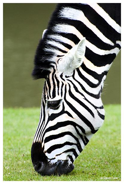Zebra II copie